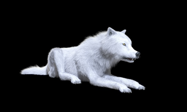 Loup blanc isoler sur fond sombre avec un tracé de détourage, loup arctique