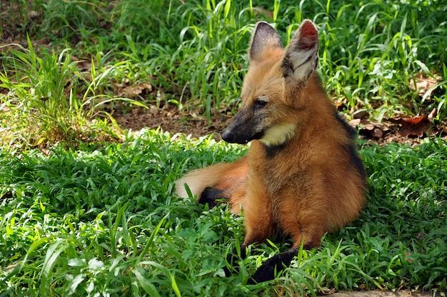 Loup à crinière sur l'herbe
