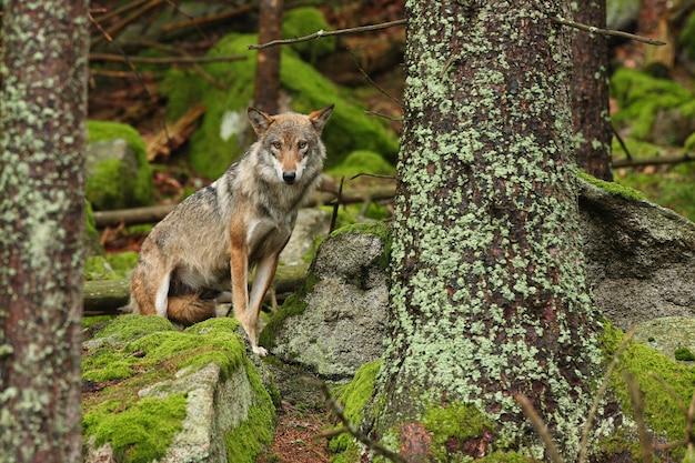 Loup eurasien beau et insaisissable pendant l'été coloré