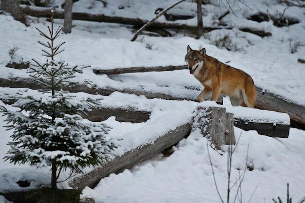 Loup eurasien dans l'habitat d'hiver blanc belle forêt d'hiver