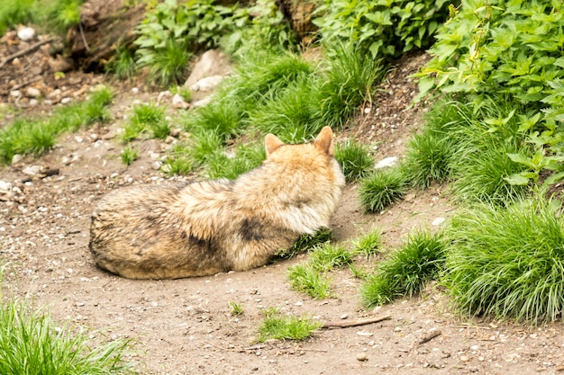 Loup européen