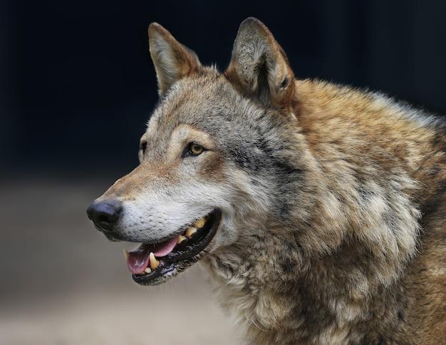 Loup gris au zoo