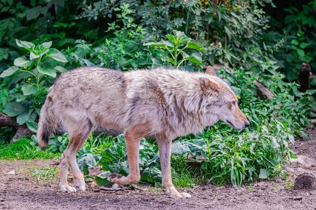 Loup gris canis lupus marchant