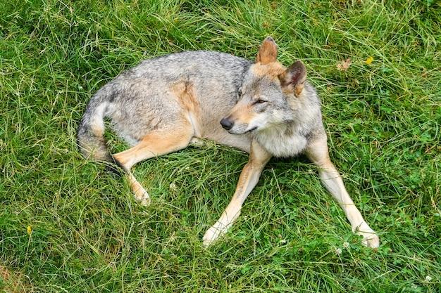 Loup gris se reposant dans l'herbe verte au premier plan.