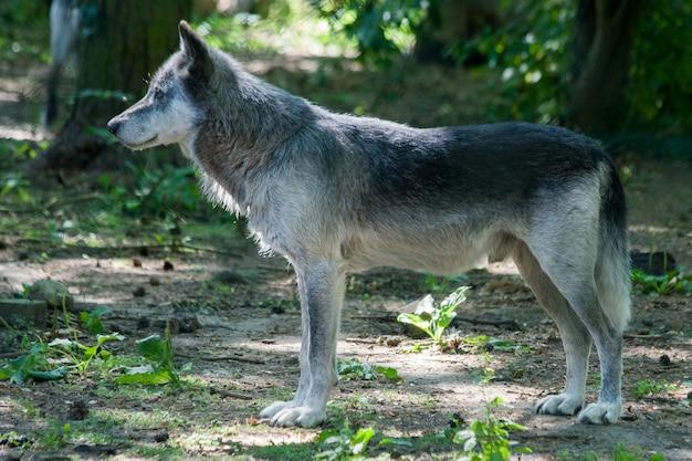 Loup gris solitaire regardant quelque chose d'intéressant