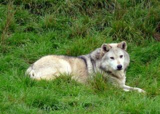 Le loup, le loup