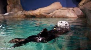 Loutre, aquarium