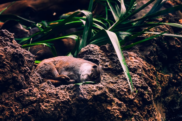 Loutre brune endormie câlinée sur les rochers et sous la plante verte