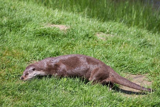 Loutre d'eurasie lutra lutra dans son habitat naturel