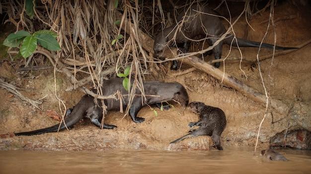 Loutre de rivière géante dans l'habitat naturel