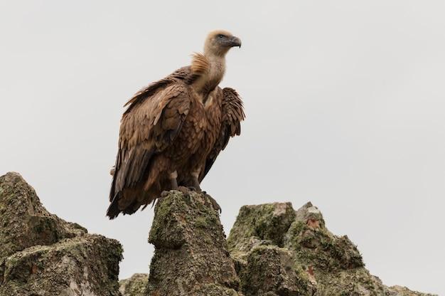 Low angle shot d'un vautour fauve au parc national de monfrague en espagne