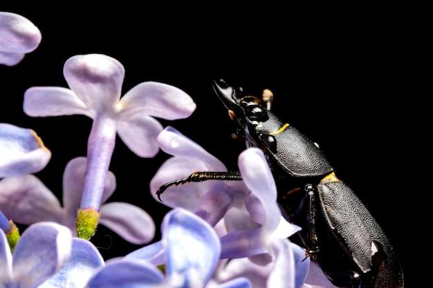 Lucane femelle sur une fleur au début du printemps.