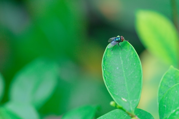 Lucilia sericata la mouche verte est un sou appartenant à la famille des calliphoridae