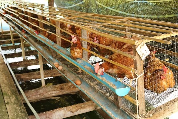 Lui, et les oeufs de manger de la nourriture dans la ferme