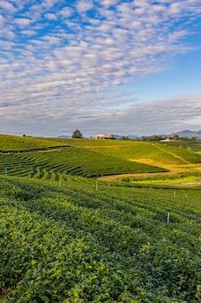 La lumière du matin dans la plantation de thé vert de choui fong l'un des beaux sites touristiques agricoles du district de mae chan