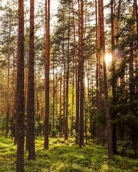 Lumière du soleil sur les arbres dans une forêt de pins au coucher du soleil