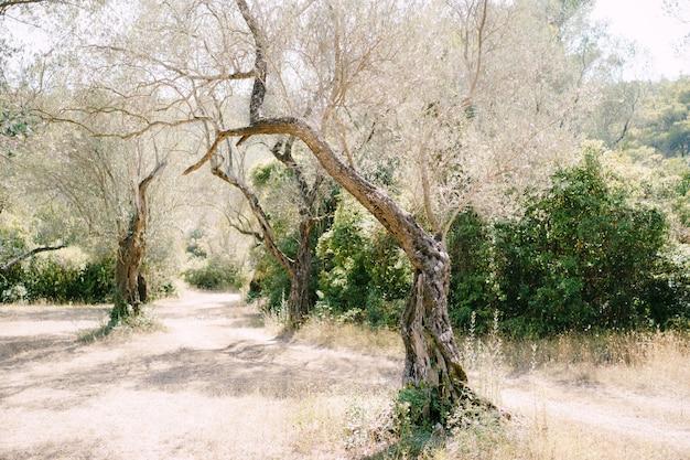 La lumière du soleil au coucher du soleil dans une oliveraie de plusieurs étages de troncs d'arbres enlacés de lierre