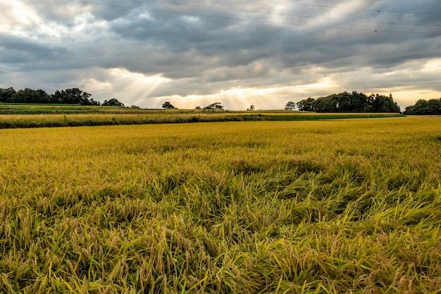 La lumière du soleil sur le champ de riz doré avec des nuages avant la pluie