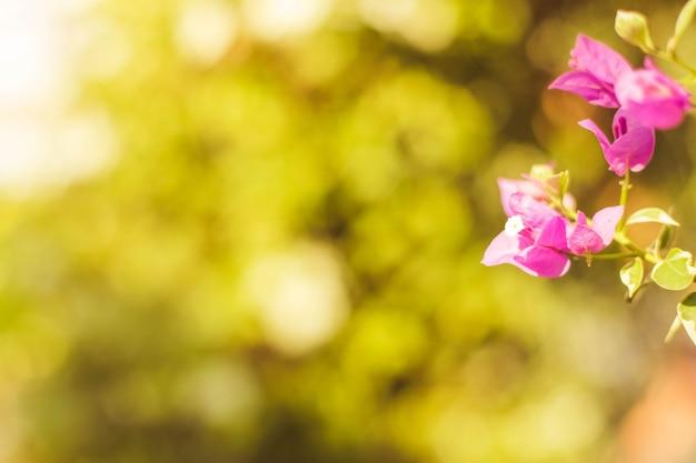 La lumière du soleil du matin fleur de bougainvillier