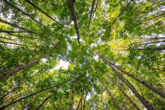 La lumière du soleil filtre à travers la canopée d'une forêt de mangroves dans la province de rayong, en thaïlande.