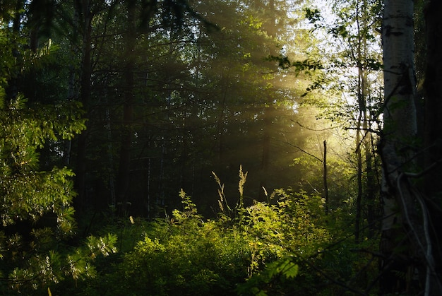 La lumière du soleil pénétrant à travers le feuillage dense dans le crépuscule ombragé du sous-bois