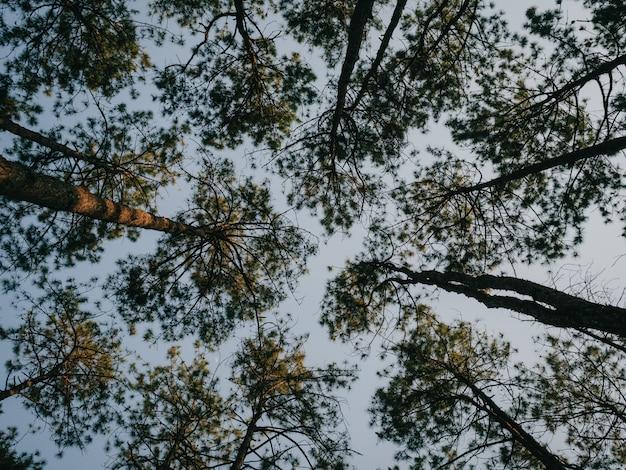 Lumière du soleil à travers les pins en forêt