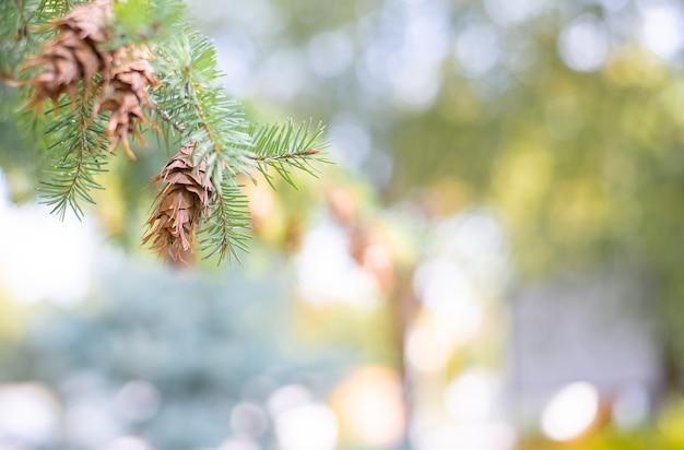 La lumière d'été floue bokeh. avec une branche d'épinette et une pomme de pin.