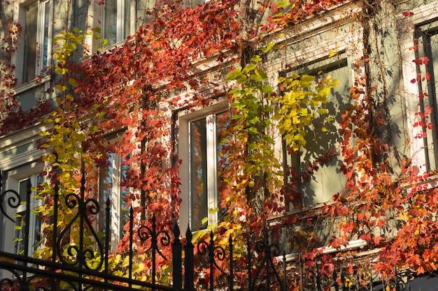 Lumineux automne lierre sur le bâtiment autour des fenêtres à la lumière du soleil