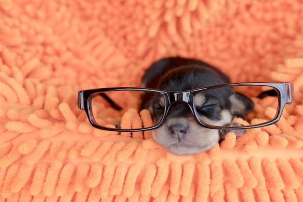 Des lunettes à chiot et à dormir sur un lit doux.