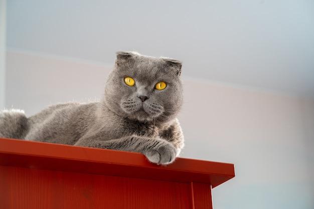 Un luxueux chat britannique gris est assis sur une commode rouge, un portrait isolé minimaliste