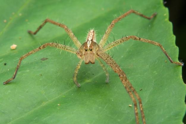 Lynx araignée ¼¼ oxyopidae
