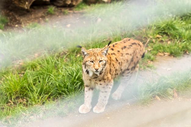 Lynx au zoo d'alpen