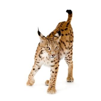 Lynx sur blanc