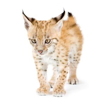 Lynx cub devant sur un mur blanc