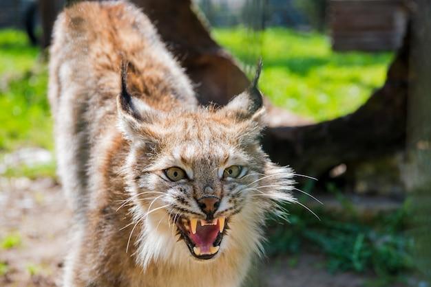 Lynx dans la forêt verte avec tronc d'arbre.