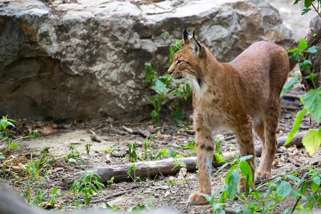 Lynx dans la forêt