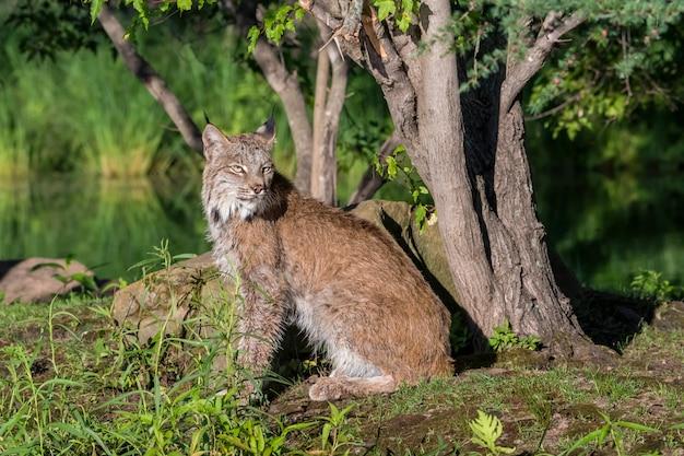 Lynx du canada assis sur le sol