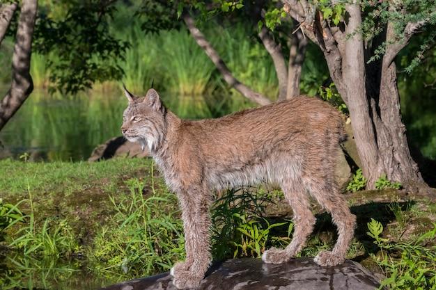 Lynx du canada debout sur un rocher
