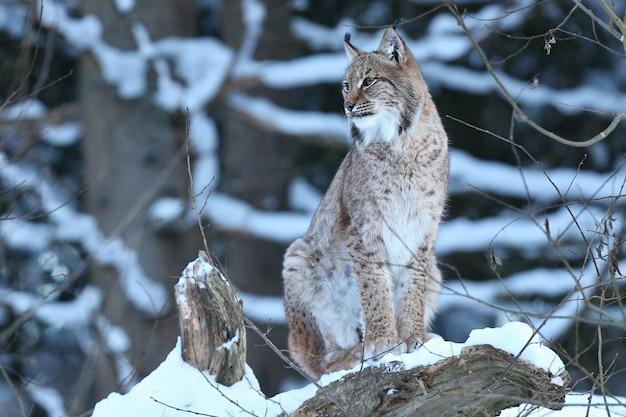 Lynx d'eurasie dans le parc national bavarois en allemagne de l'est