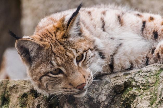 Lynx d'eurasie regardant vers le bas, (lynx lynx)