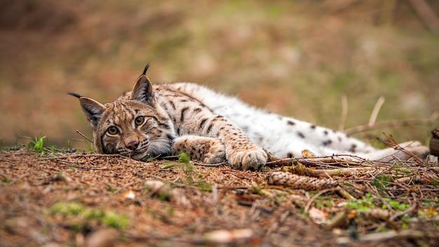 Lynx eurasien allongé sur le sol