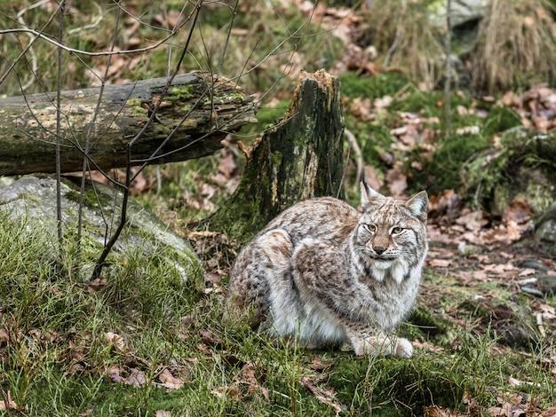Le lynx eurasien, lynx lynx, assis dans la forêt d'hiver verte