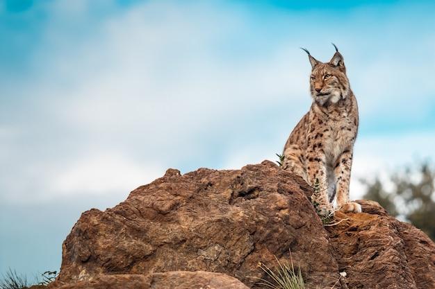 Lynx ibérique perché sur un rocher et regardant vers l'horizon