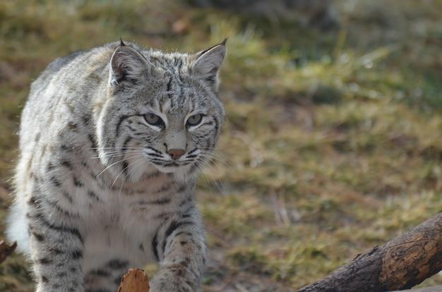 Lynx en mouvement à travers les herbes emmêlées et les plaines.