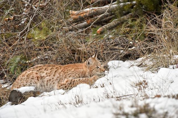 Lynx de sibérie accroupi dans la neige et prêt à bondir