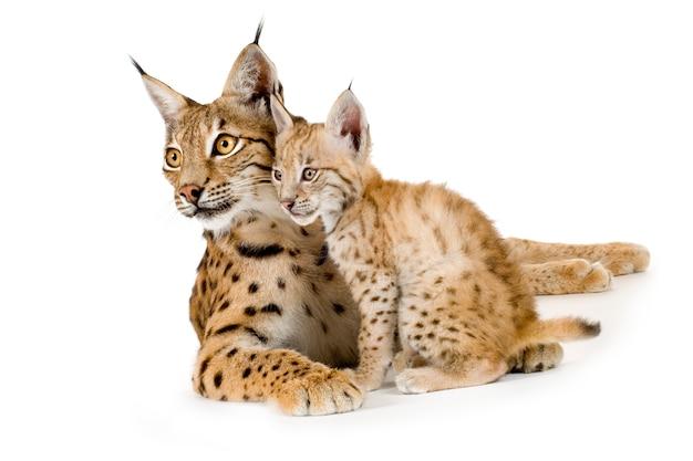 Lynx et son petit devant un mur blanc