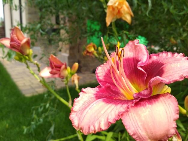 Lys lumineux en fleurs, hémérocalles dans un jardin verdoyant.