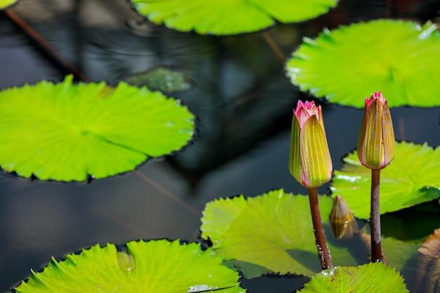 Lys non ouverts dans l'eau avec des feuilles belle nature.