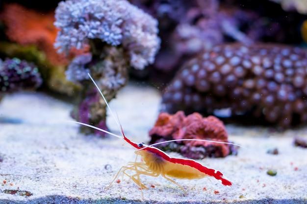 Lysmata amboinensis dans l'aquarium de récifs coralliens de home.