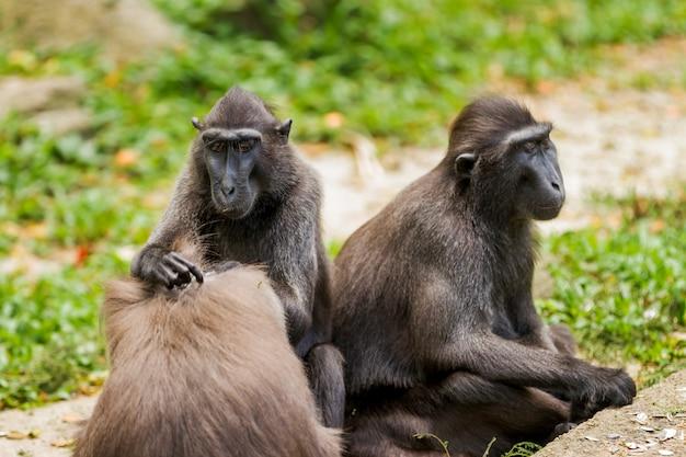 Macaque à crête de sulawesi. les singes recherchent des insectes dans la fourrure les uns des autres. singapour.
